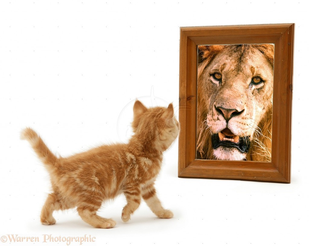 13545-Ginger-kitten-looking-in-mirror-and-seeing-a-lion-white-background